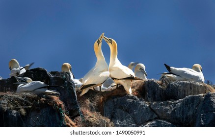 Boat cruise to Grassholm, courting northern Gannets at the beginning of summer. Beautiful rituals of lovers lost and reunited. The beauty of the Welsh coastline committed to conservation.