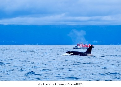 A boat full of whale watchers are surprised and delighted by the appearance of a huge male orca.