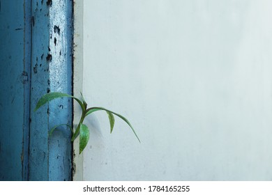 A boat lily plant (Tradescantia spathacea) growing through cracked concrete wall. A young plant sprout on unusual place as a concept illustration for new life, Business development, and survival