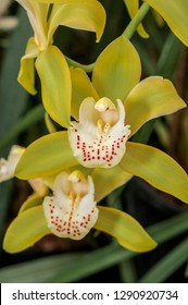 Boat Orchid (Cymbidium cv) in greenhouse, Moscow, Russia