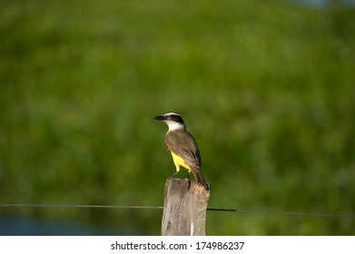 Boat-billed flycatcher sitting on a pole