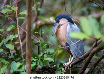 Boat-billed heron, Cochlearius cochlearius, atypical bird from heron family in dense   mangrove forest.  Nocturnal bird with massive broad scoop-like bill in mangrove swamp, river Tarcoles, Costa Rica