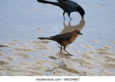 Boat-tailed grackle birds on beach