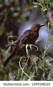 Boat-Tailed Grackle (Quiscalus Major) Female