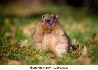 The bobak or steppe marmot in autumn park