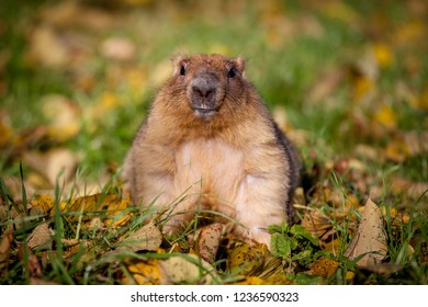 The bobak or steppe marmot in autumn park