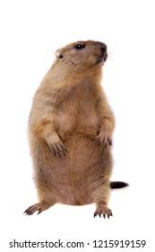 The bobak or steppe marmot on white background