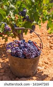 bobal harvesting with wine grapes harvest in Mediterranean