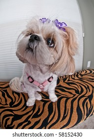 Bobble Head Puppy - A puppy girl with bows in her messy hair looking up to the left and sitting on a zebra cushion.