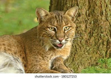 Bobcat up close