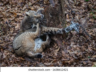 Bobcat feline caught by trapper in live trap.  Wildlife predator trapped in foothold trap. Management and recreational sport activity of animal hunting and trapping. Predator control.