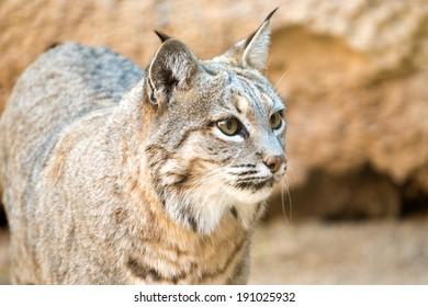 Bobcat head shot , Arizona