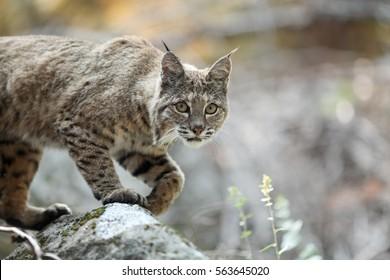 Bobcat hunting, (Lynx rufus), California, Yosemite National Park