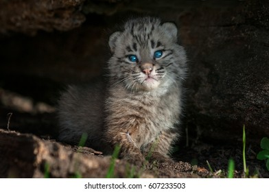 Bobcat Kitten (Lynx rufus) Rests Inside Log - captive animal