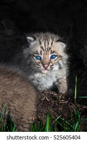Bobcat Kitten (Lynx rufus) Stares Out from Within Log - captive animal