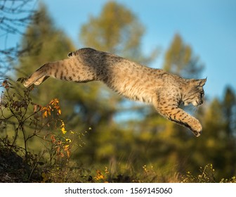 Bobcat leaping from rock to rock through forest