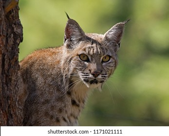 A Bobcat looking around from behind a tree.  Photo taken near Williams, Arizona.