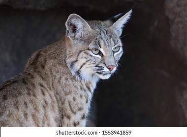 Bobcat (Lynx rufus), Arizona-Sonora Desert, Tucson, Arizona, USA.