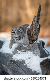 Bobcat (Lynx rufus) Bats Around Log Spur - captive animal
