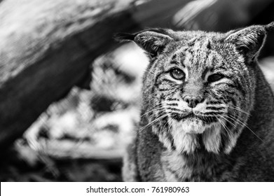 Bobcat (Lynx rufus) closeup with cataracts, black and white