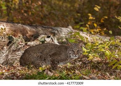 Bobcat (Lynx rufus) Crouches Near Log - captive animal