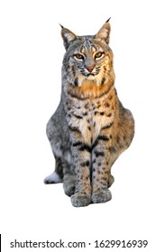 Bobcat (Lynx rufus / Felis rufus) native to southern Canada, North America and Mexico against white background