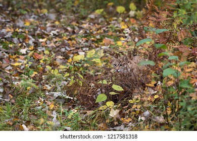 Bobcat (Lynx rufus) Hides in Autumn Grasses - captive animal