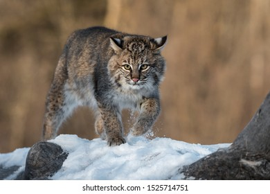 Bobcat (Lynx rufus) Kicks Up Snow on Log Winter - captive animal