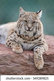 Bobcat (Lynx rufus) laying on rocks