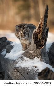Bobcat (Lynx rufus) Looks Around Broken Off Branch on Log Winter - captive animal