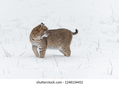 Bobcat (Lynx rufus) Looks Back Over Shoulder in Snow - captive animal