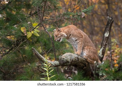 Bobcat (Lynx rufus) Looks Down and Left From Branch - captive animal
