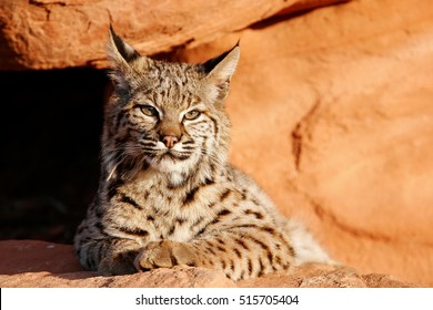 Bobcat (Lynx rufus) lying on red rocks