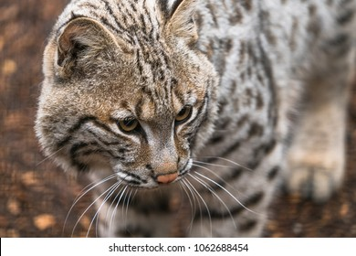 Bobcat (Lynx rufus)  a North American predator that inhabits wooded areas