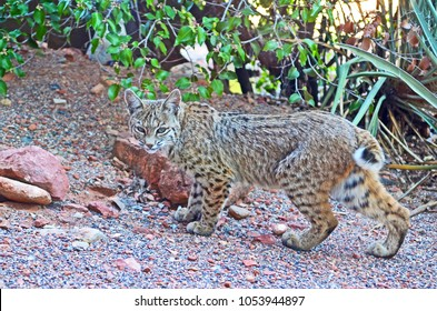 Bobcat (Lynx Rufus) on the prowl in Sedona, Arizona. This photo was taken from my house as the bobcat walked around the perimeter.