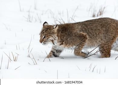 Bobcat (Lynx rufus) Runs Left Through Snow Winter - captive animal