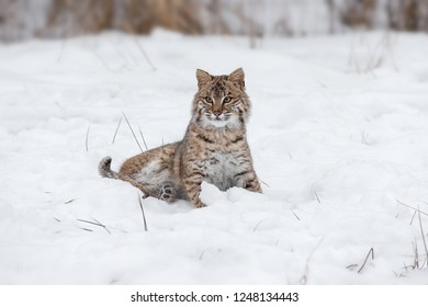 Bobcat (Lynx rufus) Sits Awkwardly in Snow - captive animal