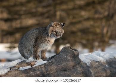 Bobcat (Lynx rufus) Sits Next to Log Knot Winter - captive animal