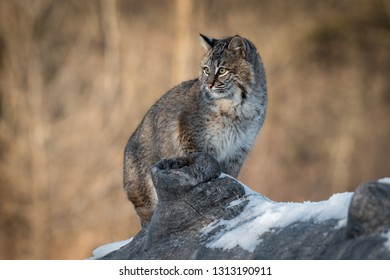 Bobcat (Lynx rufus) Sits on Log Looking Left Winter - captive animal