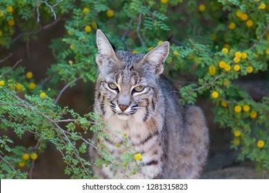 Bobcat (Lynx rufus), Sonora desert, Arizona, USA.