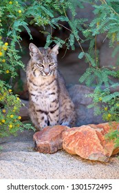 Bobcat (Lynx rufus), Sonora desert, Tucson, Arizona, USA.