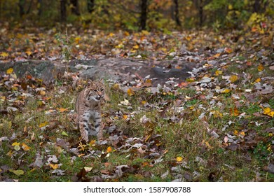 Bobcat (Lynx rufus) Stands in Autumn Landscape - captive animal