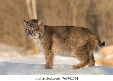 Bobcat (Lynx rufus) Stands Looking Out - captive animal
