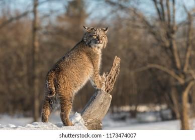 Bobcat (Lynx rufus) Stands Up on Log - captive animal