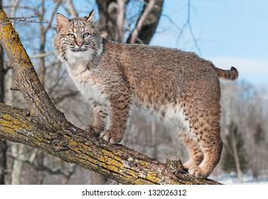Bobcat (Lynx rufus) Stands on Branch  - captive animal