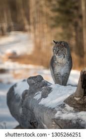 Bobcat (Lynx rufus) Stands Tall on Log Looking Left Winter - captive animal