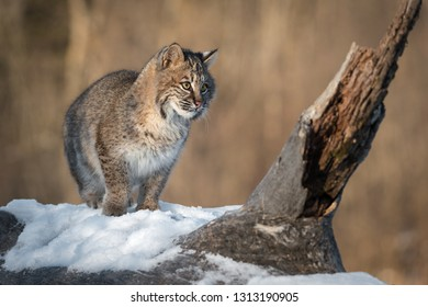 Bobcat (Lynx rufus) Steps to Right Winter - captive animal