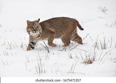 Bobcat (Lynx rufus) Steps Through Snow One Ear Back Winter - captive animal