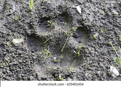 Bobcat prints in dirt
