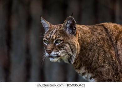 Bobcat at San Francisco Zoo